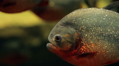 Amazon predatory piranha fish Stock Footage