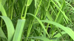 Camouflaged bright green European tree frog - stock footage