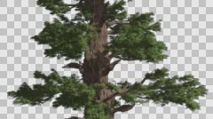 Western Juniper Trunk And Green Branches Coniferous Evergreen Tree is Swaying Stock Footage