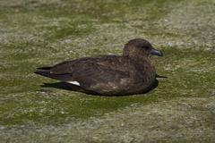 Falkland Skua (Catharacta antarctica) - stock photo