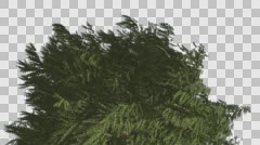 Top of Western Red Cedar Coniferous Tree Evergreen Thin Tree is Swaying at the Stock Footage