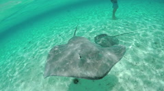 SLOW MOTION CLOSE UP: Wild stingrays swimming in blue lagoon Stock Footage