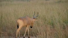 Jackson's Hartebeest (Alcelaphus buselaphus), Murchison Falls national park Stock Footage
