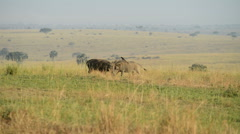 A WILD Warthog or Common Warthog (Phacochoerus africanus), Murchison Falls Natio - stock footage
