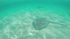 SLOW MOTION UNDERWATER: Stingray and blacktip shark swimming in ocean Stock Footage