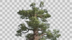 Western Juniper Top of Tree Green-Yellow Branches Coniferous Evergreen Tree is Stock Footage