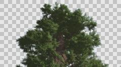 Western Juniper Lush Crown Fluttering Leaves Coniferous Evergreen Tree is Stock Footage