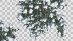 Snow on White Fir Thin Trees Top Down Coniferous Evergreen Tree is Swaying at Stock Footage