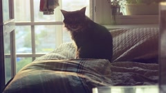 Big Maine Coon cat sitting on the bed at sunlight and washes in slowmotion - stock footage