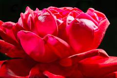 image of a red rose bud close-up - stock photo