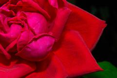 Image of a red rose bud close-up Stock Photos
