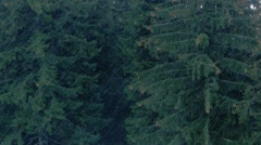 Rain in the mountain forest.  Spruce trees and cones. Stock Footage