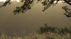 Gnats buzz around backlit by the morning Sun Stock Footage