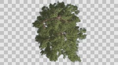Stock Video Footage of Western Juniper Swaying Crown Top Down Coniferous Evergreen Tree is Swaying at