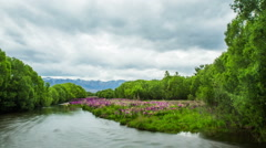 Time Lapse - Beautiful Lupines on the River Stock Footage