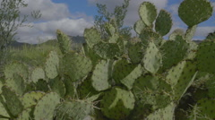 Prickly Pear Cactus - stock footage