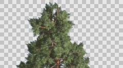 Top of Tree Scots Pine Coniferous Evergreen Tree is Swaying at the Wind Green Stock Footage