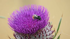 Honey bees collecting flower nectar from Thistle on mountain field Stock Footage