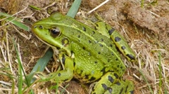Green frog sitting on the ground and looks. Stock Footage