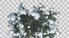 Snow on White Fir Top Down Coniferous Evergreen Tree is Swaying at the Wind in Stock Footage