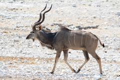 Kudu on the walk - stock photo