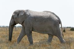 elephant in grass land - stock photo
