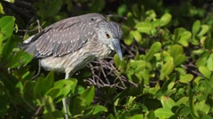 Yellow-crowned Night Heron Profile Close-up Stock Footage