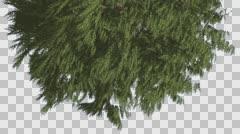 Tree is Turned Down Western Red Cedar Fluttering Leaves Coniferous Evergreen Stock Footage