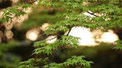 Japanese maple tree at sunset. - stock footage
