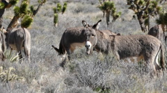 Wild Donkeys in the Mojave Desert Stock Footage