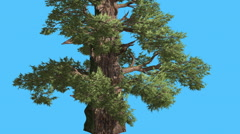 Western Juniper Tnick Trunk at Sun Rays Coniferous Evergreen Tree is Swaying at Stock Footage
