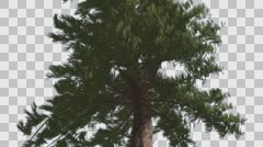Western Red Cedar Trunk and Branches Coniferous Evergreen Thin Tree is Swaying Stock Footage