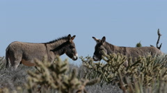 Wild Burros at Red Rock National Conservation Area Stock Footage