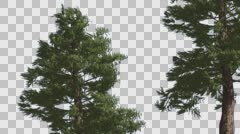 Western Red Cedar Two Coniferous Evergreen Trees Are Swaying at the Wind Green Stock Footage