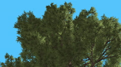 Western Juniper Top of Branchy Crown Coniferous Evergreen Tree is Swaying at Stock Footage