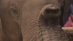 Elephant proboscis trunk close up Stock Footage