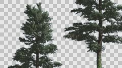 Two White Firsconiferous Evergreen Thin Trees Swaying at the Wind Green Stock Footage