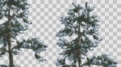 Snow on Two White Firs Coniferous Evergreen Trees Are Swaying at the Wind in Stock Footage