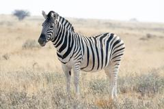 Zebra standing in grass land. - stock photo