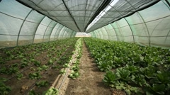 A wide pan shot of lettuce hothouse Stock Footage