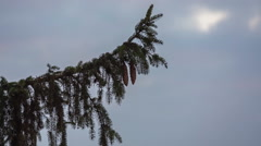 Spruce branch witch cones on sky background Stock Footage