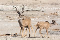 Kudu family in namibia Stock Photos