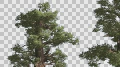 Western Juniper Two Thick Trees Coniferous Evergreen Tree is Swaying at The Stock Footage