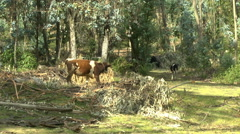 A Bull Follows a Cow and a Calf into the Forested Area of Pinchincha. Stock Footage