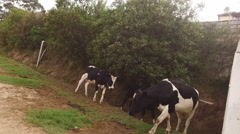 Two Bulls Follow Closely Behind a Cow Stock Footage
