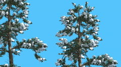 White Fir Two Thin Firs Snow on Branches Coniferous Evergreen Tree is Swaying - stock footage