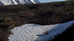 Brown Bear Grizzly Walking Onto Snow Patch 4K Stock Footage