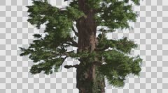 Western Juniper Thick Tall Tree Fluttering Leaves Coniferous Evergreen Tree is Stock Footage
