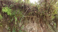 The Root System of Jungle Trees Stock Footage