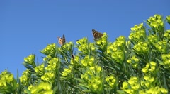 Butterflies and flies on spurge Stock Footage